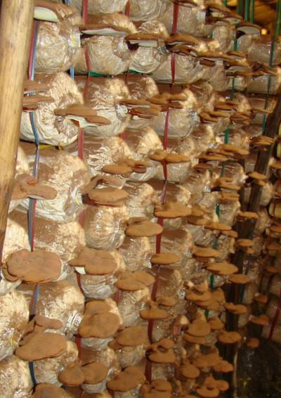 Thí điểm mô hình trồng nấm linh chi tại Sơn Định