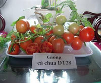 Cà chua DT 28 được công nhận giống quốc gia