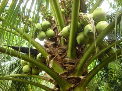 Một số vấn đề của ngành trồng và chế biến dừa ở Bến Tre