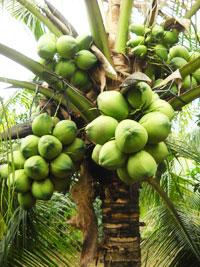 Dừa xiêm uống nước xã Tân Thành Bình-vị thế và tiềm năng