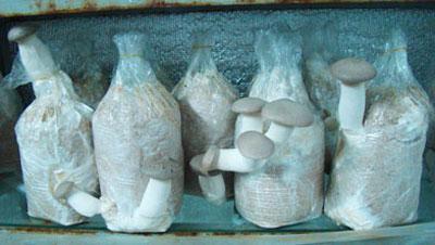 Quy trình nuôi trồng nấm đùi gà