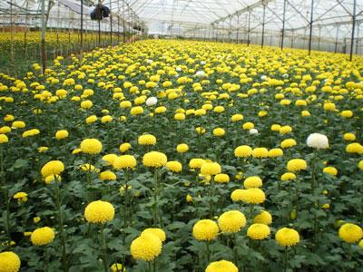 Ứng dụng chất điều hòa sinh trưởng thực vật trong sản xuất hoa-một số lưu ý khi sử dụng